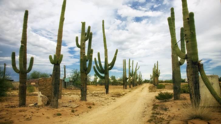 arizona cacti in the desert