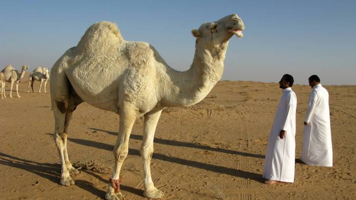 camel in desert with people