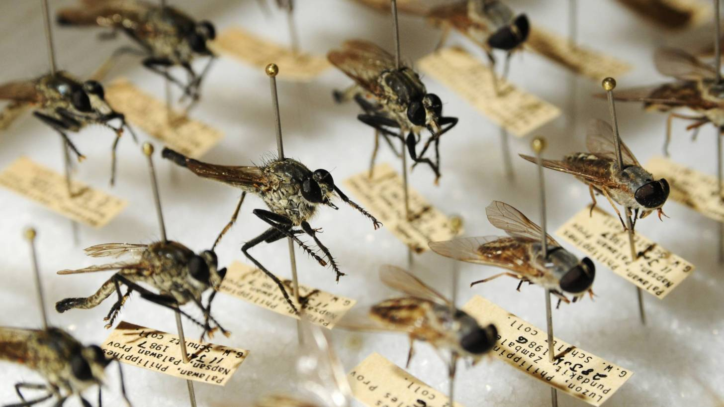 mosquitoes on a board identified