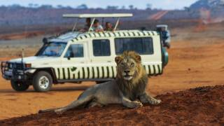 kenyan safari vehicle with a large lion laying in front of it