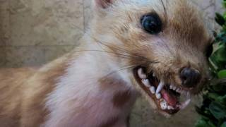 rabid animal, scary looking