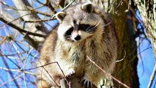raccoon in a tree during the daytime